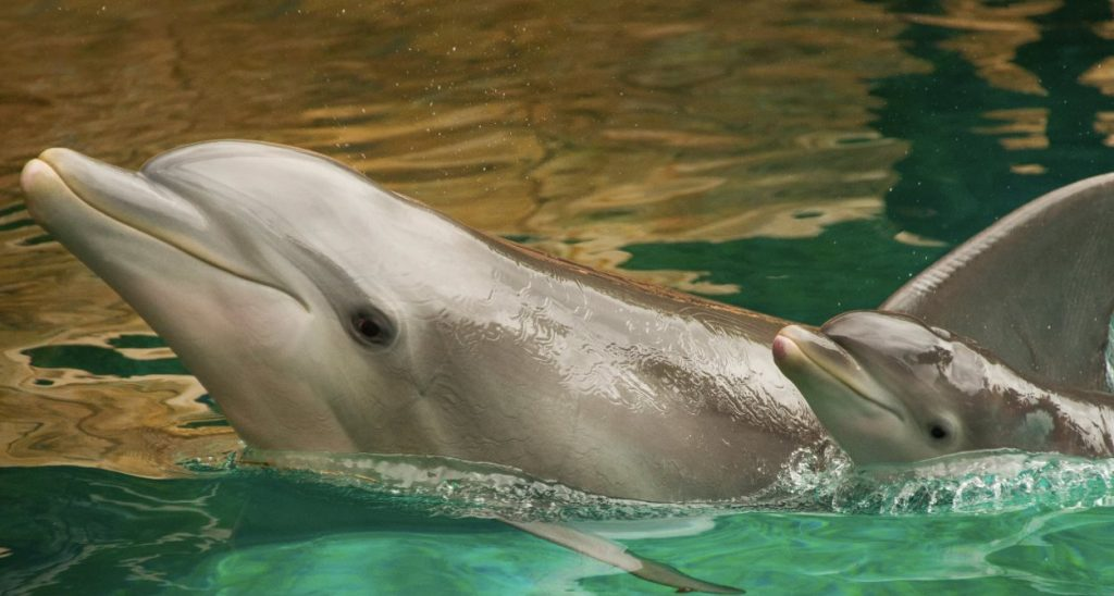 Baby Dolphin Calves at Discovery Cove